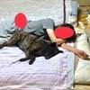 甲斐犬サン(とネェネ)のお疲れ回復法の巻〜v(・ω・´☆)《お疲れチャン》