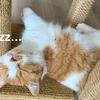 2回目のワクチン接種をしたあとの飼い主の癒しは、やっぱり愛猫。