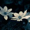 ベランダの花の写真を、Photoshop Expressでモノクロ化。LUMIX DMC-GM1+LUMIX 42.5mm/F1.7で撮影。