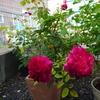 真夏に花が欲しいのなら「ムンステッドウッド」をお勧めします