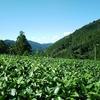 9月上旬の茶畑