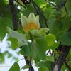 ユリの木 Liriodendron tulipifera メロナール  melonal