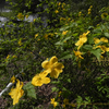 山吹(やまぶき)の花のにおい yamabuki