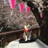 【番外編】 目黒川の桜 ~花見 2017