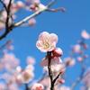 薄桃色の梅畑