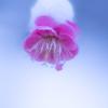 梅に雪帽子_その2