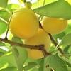 自宅の少量の梅でも出来る簡単梅酒レシピ。仕込んで4か月目の様子。