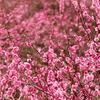 湯河原 幕山公園の梅の開花は7分咲きでした♪断捨離の気晴らしの日帰り旅行♪