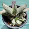 🌵多肉植物   ガステリア・美鈴の富士🗻他🌵