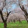 【乙部町】しびの岬公園、桜の木の下でまったりお花見
