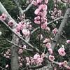 もうすぐ、桜が開花?