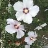 ハイビスカスの花言葉は新しい恋