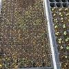 【家庭菜園】早くもタマネギ栽培に黄色信号!!急遽追加することに。あと菜園の様子