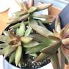 少しずつ色づく多肉植物。