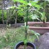 9/4 夏オクラ植えてみました。 25日目