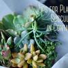 コンテナ:多肉植物がよりキュートにみえるの寄せ植えのコツ(プレゼント用)
