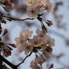 金沢でも平年より6日早い開花宣言