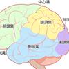【基礎から学ぶ】大脳(大脳皮質・機能局在)【解剖生理学】