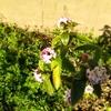 沈丁花と八朔スムージー風
