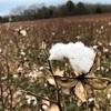 綿花のプランテーションを見るためにテネシー州のDavies Manor Plantationにやってきた。朽ち果てている感じでした…