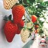 山梨のイチゴ狩りシーズンスタート!子連れ家族におすすめ「石和いちご館青柳」