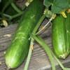 田舎での野菜の半自給自足暮らしはとなりのトトロみたいで楽しい