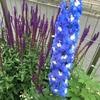 鮮やかな青花が昇り龍のように咲き進む! デルフィニウム・オーロラブルーインプ