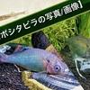 【セボシタビラ(タナゴ)の写真/画像】婚姻色や稚魚・飼育の様子