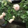 咲き終わりと咲き始めのバラ
