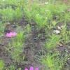 えっ⁈コスモスがもう咲いてる!