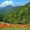 高原に咲くレンゲツツジ