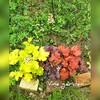 カラーリーフ 増えすぎて つる植物超え!?