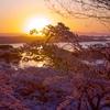 西行戻しの松公園の桜 宮城の撮影スポット