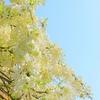 弁天さまの白藤と春の花と