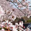 裾野市長泉町、桜堤北公園から伸びる桜堤遊歩道でお花見してきた