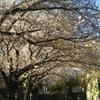 松田町延命寺の桜・牡丹・チューリップ&小田原城の桜