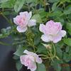 「ピンクアイスバーグが咲いた!」