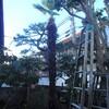 東電の引き込み線に触る高さになったシュロの樹を伐採しました