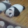 中国⑯ パンダ基地に行くなら夏は避けるべき…