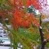 雪紅葉 Ⅱ