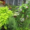 夏の庭に彩を添えるコリウス