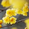 【春近し】春を告げる蝋梅を撮影しました!梅も咲き始めました!