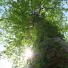 『二番目に大きい木です』