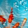 おはようございます。金魚すくいの金魚。飼育の準備をしてます。
