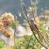 ジョウビタキも来た! 冬鳥の季節は既に始まっている