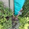 サポナリア・バッカリアの種、収穫