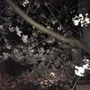 桜の蕾が開き始めました!