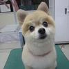 トリミング犬ご紹介 50枚