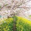 【なんだかんだいって近所の桜がいちばんいい】 ~海外の友人を、どこかひとつだけ連れていくのなら、この、家から歩いて1分の名もなき桜並木に行くかも~ (#埼玉県久喜市 #青毛堀の桜並木 #吉羽公園 #お山の公園 #満開の桜)
