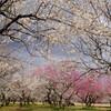 2月末、偕楽園の梅
